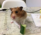 Betty the Hamster